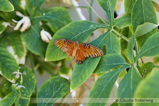 This Gulf Fritillary has lived a long life.
