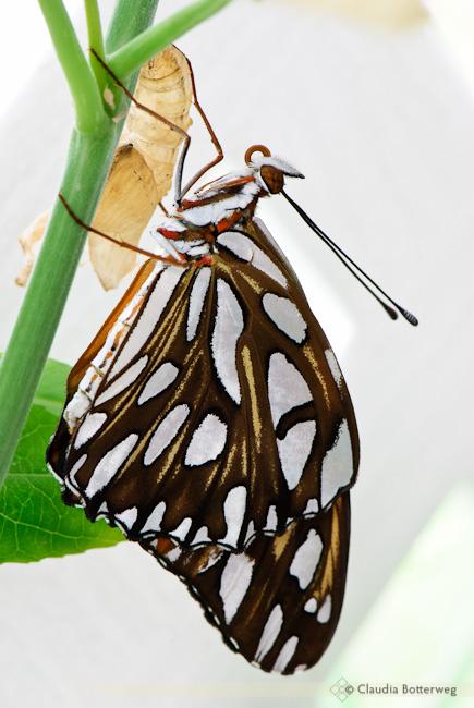 New Gulf Fritillary Butterfly