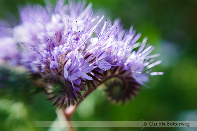 Scorpionweed Flowers